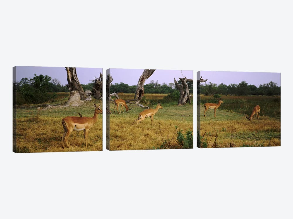 Herd of impalas (Aepyceros Melampus) grazing in a field, Moremi Wildlife Reserve, Botswana by Panoramic Images 3-piece Canvas Art Print