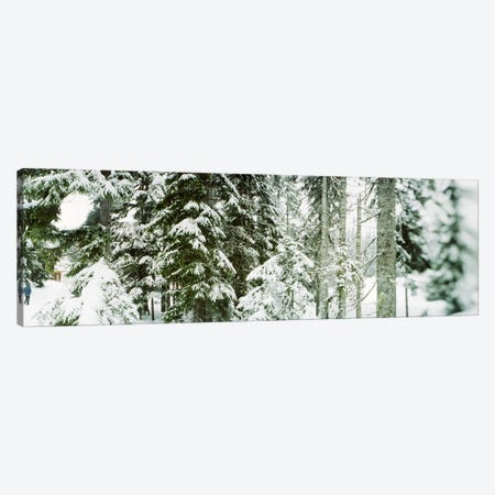 Snow covered evergreen trees at Stevens Pass, Washington State, USA Canvas Print #PIM9596} by Panoramic Images Art Print