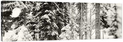 Snow covered evergreen trees at Stevens PassWashington State, USA Canvas Print #PIM9597