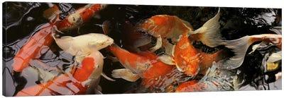 Koi carp Canvas Print #PIM9606