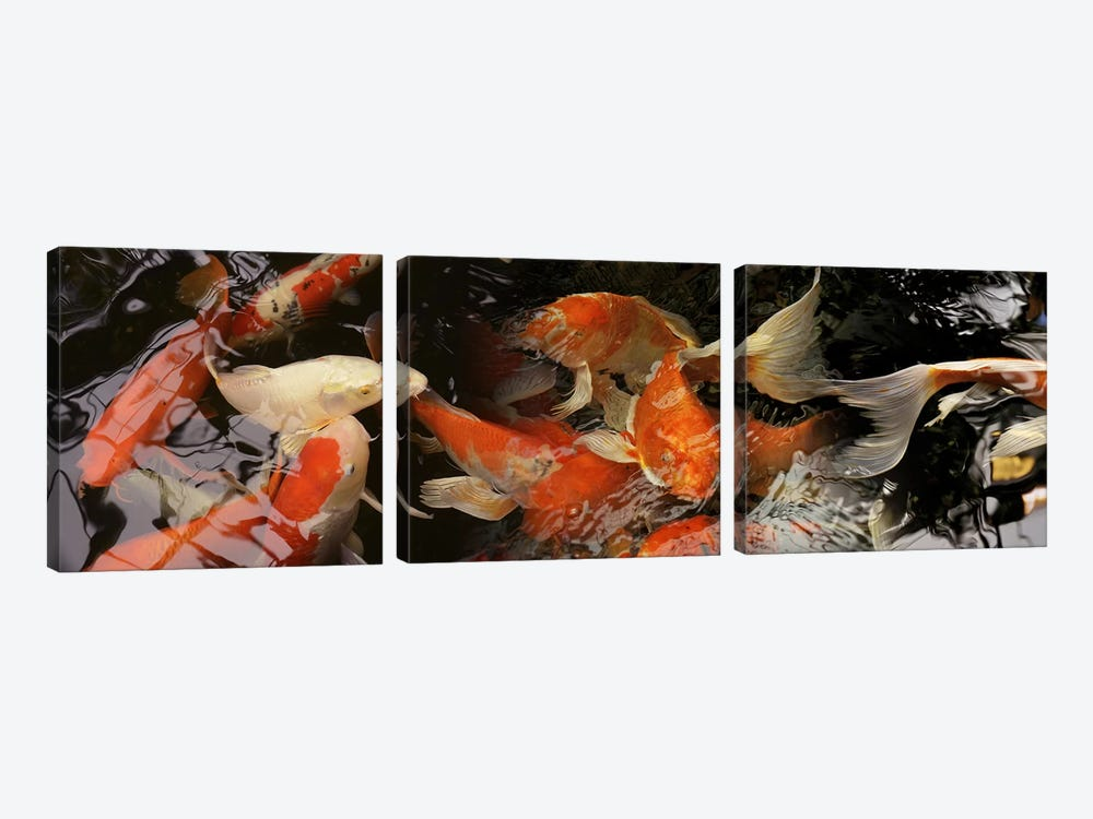 Koi carp by Panoramic Images 3-piece Canvas Print