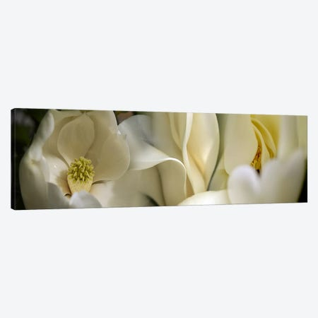 Magnolia flowers Canvas Print #PIM9608} by Panoramic Images Canvas Artwork