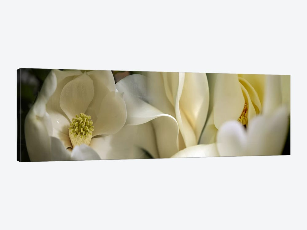 Magnolia flowers by Panoramic Images 1-piece Canvas Art Print