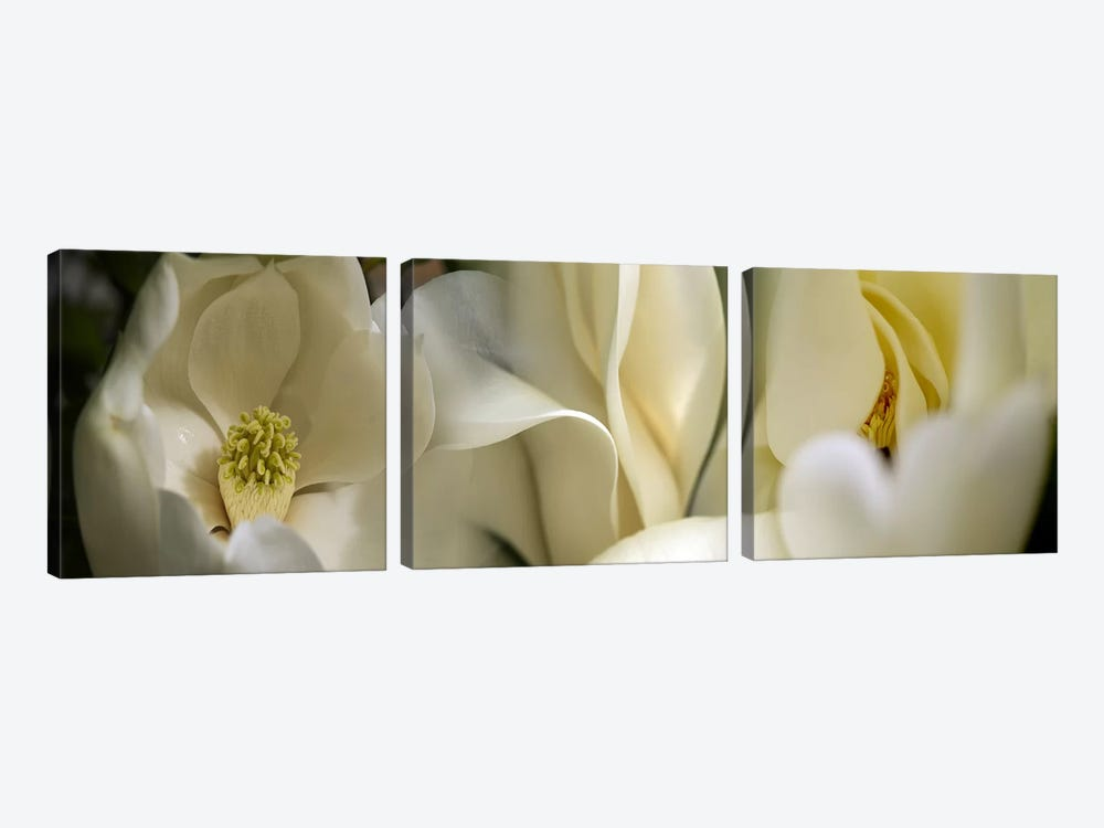 Magnolia flowers by Panoramic Images 3-piece Canvas Art Print