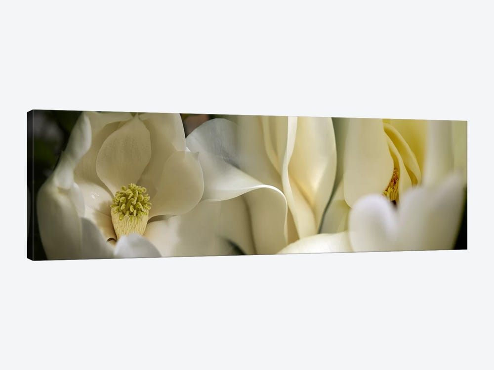 Magnolia flowers #3 by Panoramic Images 1-piece Canvas Artwork