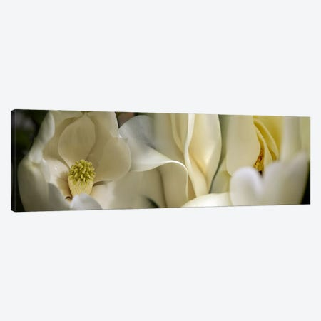 Magnolia flowers #3 Canvas Print #PIM9610} by Panoramic Images Canvas Art Print