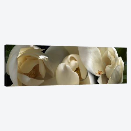 Magnolia flowers #5 Canvas Print #PIM9612} by Panoramic Images Canvas Print
