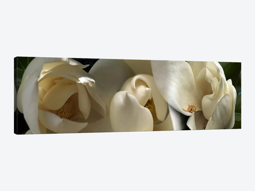 Magnolia flowers #5 by Panoramic Images 1-piece Canvas Artwork