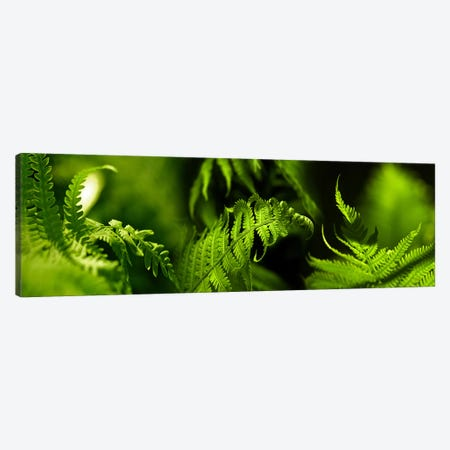 Fern Canvas Print #PIM9613} by Panoramic Images Art Print