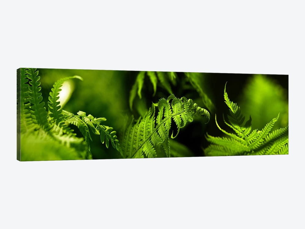 Fern by Panoramic Images 1-piece Canvas Art Print