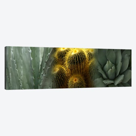 Cactus plants Canvas Print #PIM9622} by Panoramic Images Canvas Wall Art