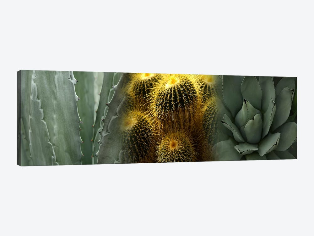 Cactus plants by Panoramic Images 1-piece Canvas Print