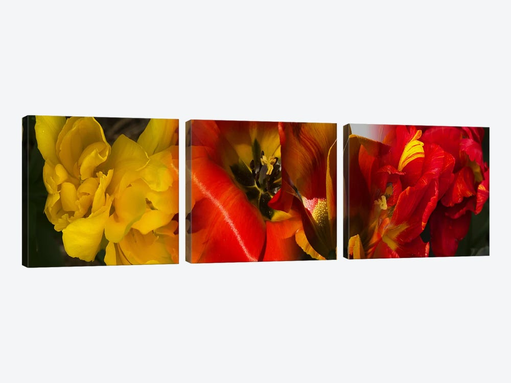 Close-up of Tulips by Panoramic Images 3-piece Canvas Wall Art
