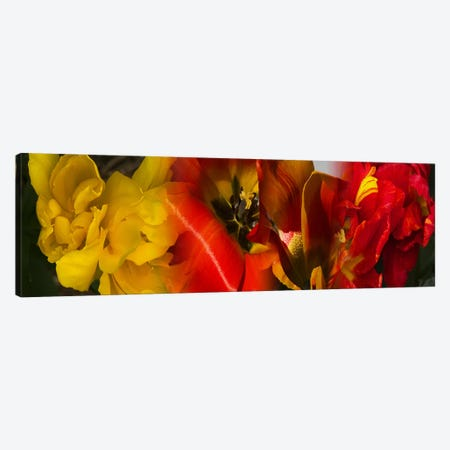 Close-up of Tulips 3-Piece Canvas #PIM9625} by Panoramic Images Canvas Print