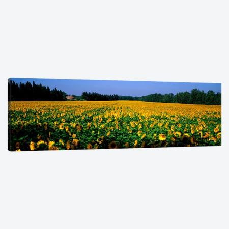 Sunflowers St Remy de Provence Provence France Canvas Print #PIM967} by Panoramic Images Canvas Art