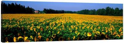 Sunflowers St Remy de Provence Provence France Canvas Print #PIM967