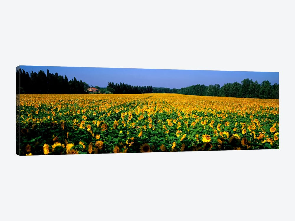 Sunflowers St Remy de Provence Provence France by Panoramic Images 1-piece Art Print