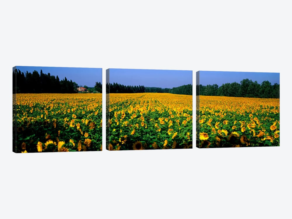 Sunflowers St Remy de Provence Provence France by Panoramic Images 3-piece Art Print