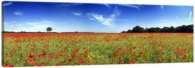 Poppies in a field, Norfolk, England Canvas Print #PIM9718