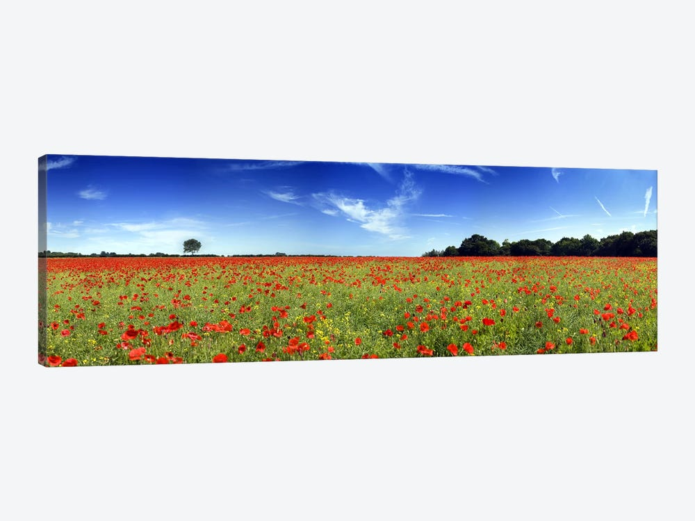Poppies in a field, Norfolk, England by Panoramic Images 1-piece Canvas Print
