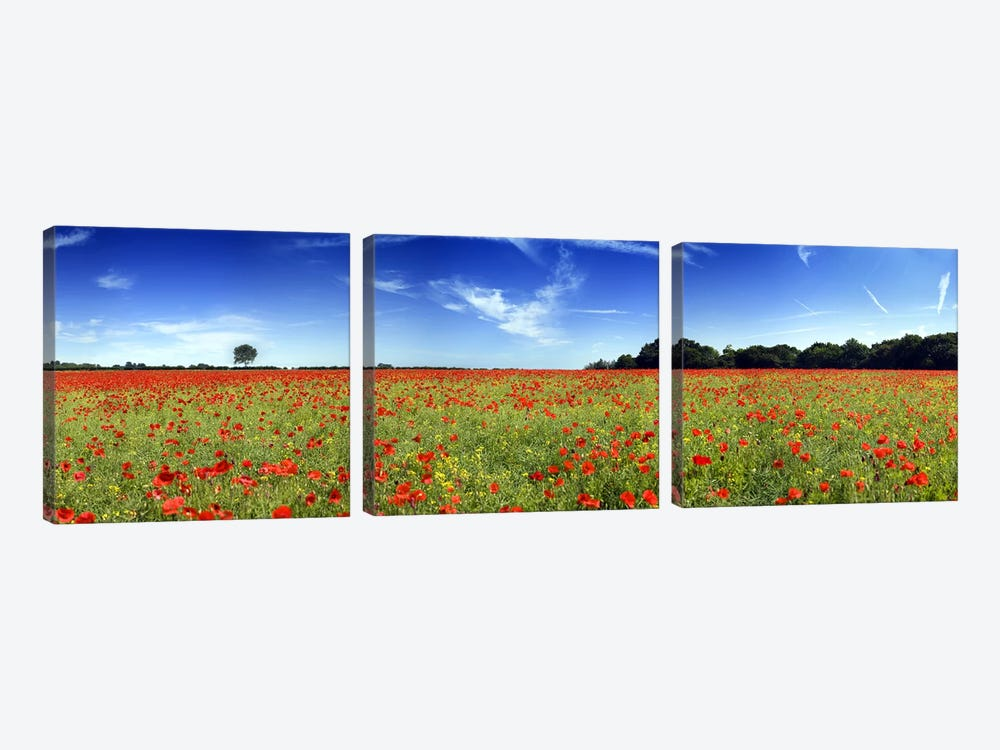 Poppies in a field, Norfolk, England by Panoramic Images 3-piece Art Print