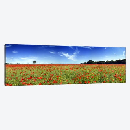 Poppies in a field, Norfolk, England Canvas Print #PIM9718} by Panoramic Images Canvas Wall Art