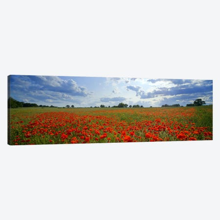 Poppies in a field, Norfolk, England #2 Canvas Print #PIM9730} by Panoramic Images Canvas Art