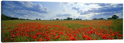 Poppies in a field, Norfolk, England #2 Canvas Art Print