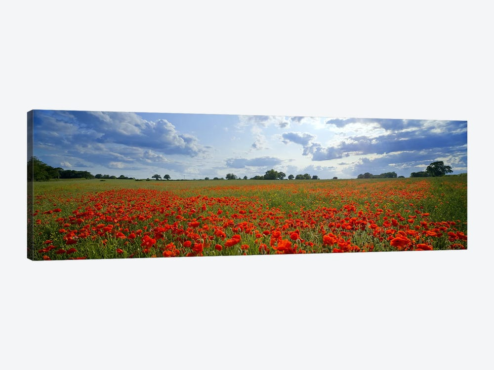 Poppies in a field, Norfolk, England #2 by Panoramic Images 1-piece Canvas Art Print