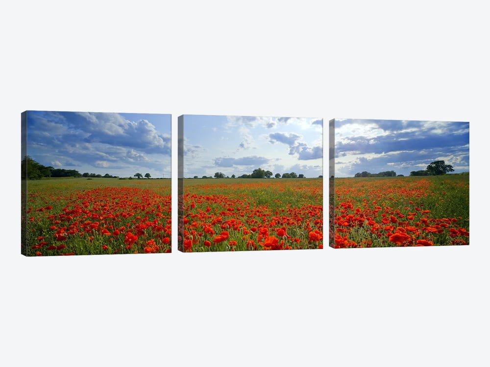 Poppies in a field, Norfolk, England #2 by Panoramic Images 3-piece Canvas Print