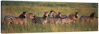 Burchell's zebras (Equus quagga burchellii) in a forest, Masai Mara National Reserve, Kenya Canvas Art Print
