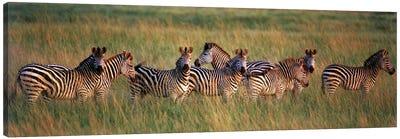 Burchell's zebras (Equus quagga burchellii) in a forest, Masai Mara National Reserve, Kenya Canvas Print #PIM9766