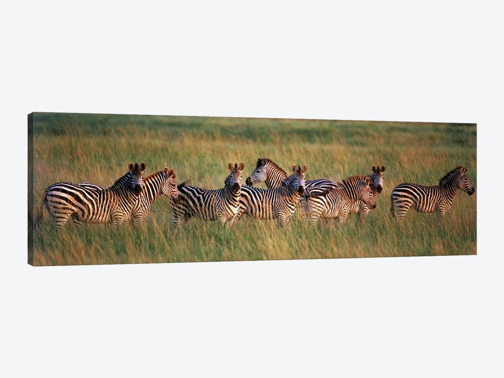Burchell's zebras (Equus quagga burchellii) in a forest, Masai Mara National Reserve, Kenya by Panoramic Images 1-piece Canvas Artwork