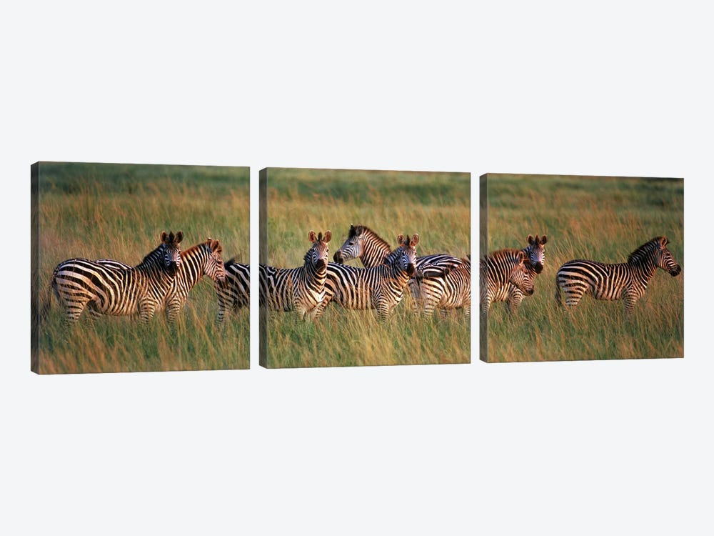 Burchell's zebras (Equus quagga burchellii) in a forest, Masai Mara National Reserve, Kenya by Panoramic Images 3-piece Canvas Art