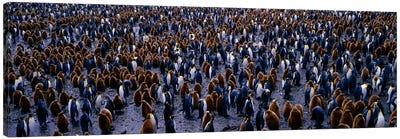 King Penguin Colony Salisbury Plain South Georgia Sub-Antartic Canvas Print #PIM980