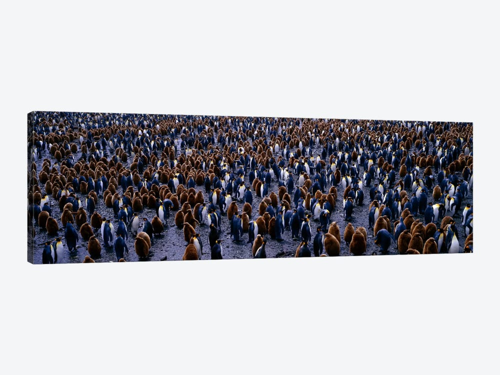 King Penguin Colony Salisbury Plain South Georgia Sub-Antartic by Panoramic Images 1-piece Canvas Artwork