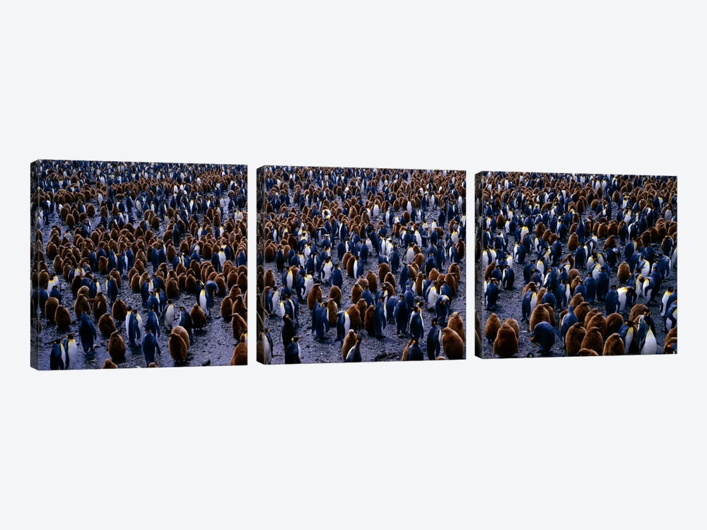 King Penguin Colony Salisbury Plain South Georgia Sub-Antartic by Panoramic Images 3-piece Canvas Wall Art