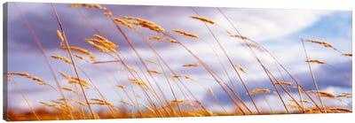 Windblown Wheat Stalks In Zoom Canvas Print #PIM988
