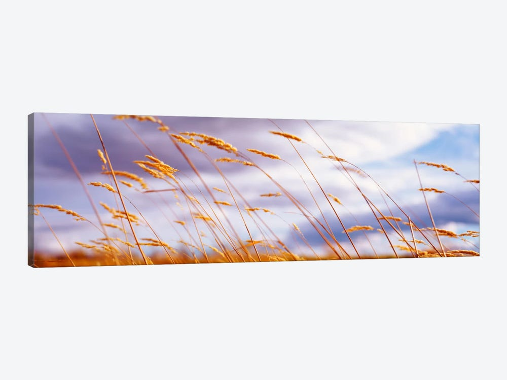 Windblown Wheat Stalks In Zoom by Panoramic Images 1-piece Canvas Wall Art