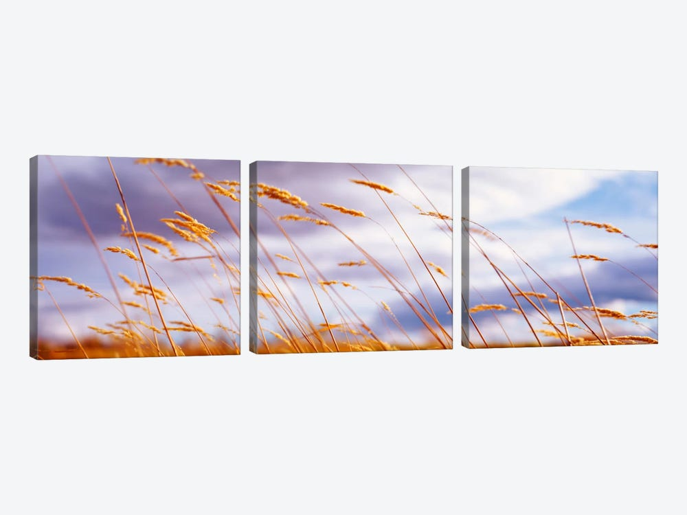 Windblown Wheat Stalks In Zoom by Panoramic Images 3-piece Canvas Art