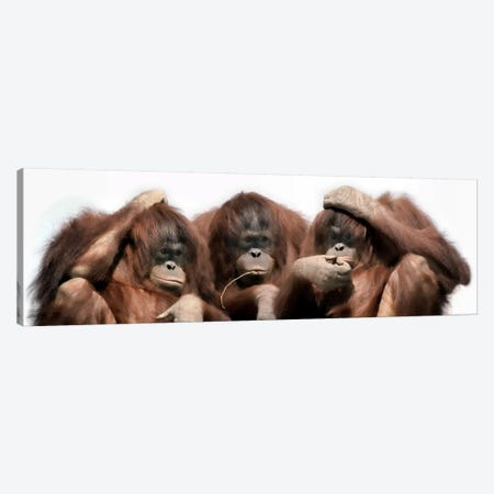 Close-up of three orangutans Canvas Print #PIM9925} by Panoramic Images Canvas Art