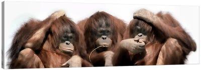 Close-up of three orangutans Canvas Print #PIM9925