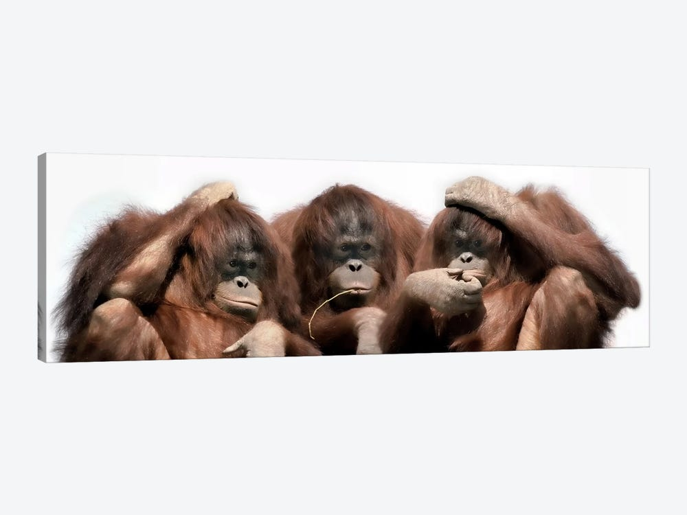 Close-up of three orangutans by Panoramic Images 1-piece Canvas Wall Art
