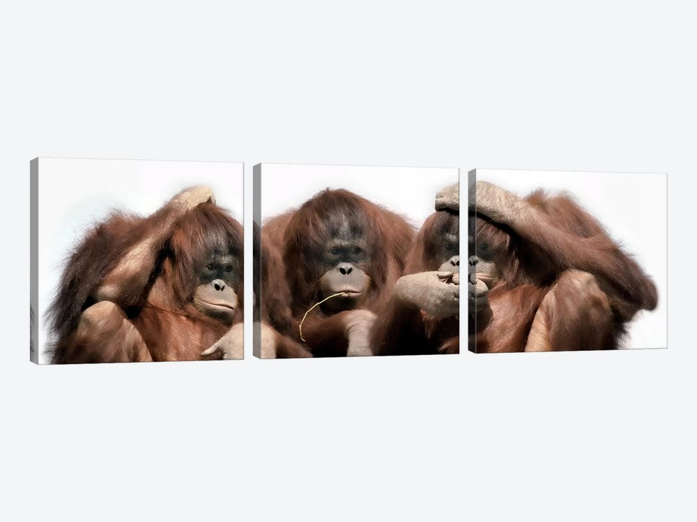 Close-up of three orangutans by Panoramic Images 3-piece Canvas Wall Art