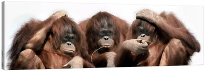 Close-up of three orangutans Canvas Art Print
