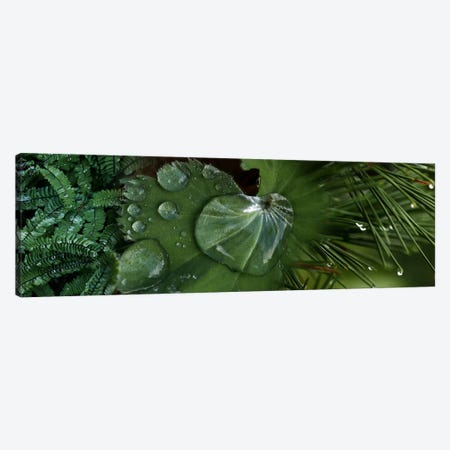 Close-up of leaves with water droplets Canvas Print #PIM9944} by Panoramic Images Canvas Wall Art