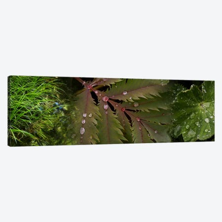 Close-up of leaves with water droplets Canvas Print #PIM9946} by Panoramic Images Canvas Art