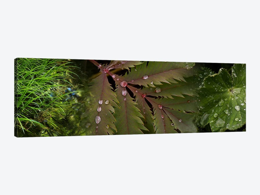 Close-up of leaves with water droplets by Panoramic Images 1-piece Canvas Art Print