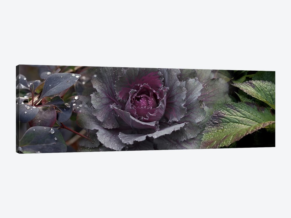 Close-up of leaves and ornamental cabbage with water droplets by Panoramic Images 1-piece Canvas Wall Art