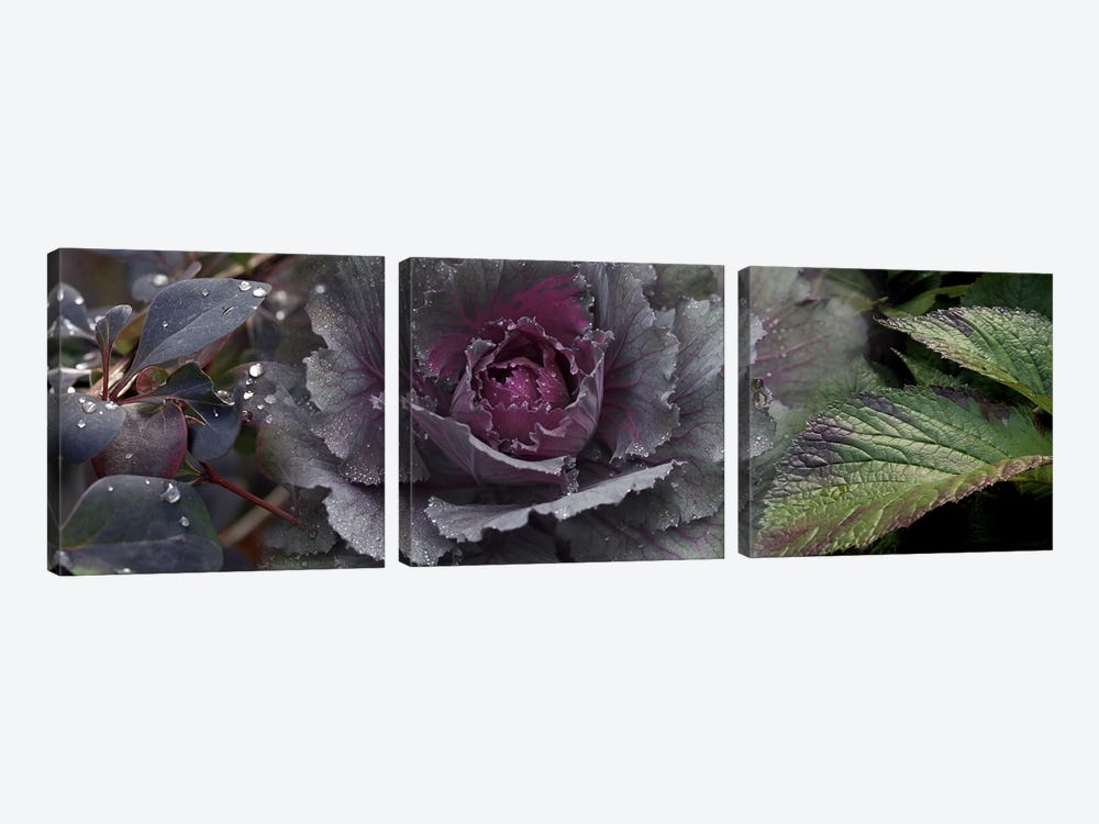 Close-up of leaves and ornamental cabbage with water droplets by Panoramic Images 3-piece Canvas Wall Art